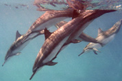 Hawaiian Spinner Dolphins Diving Down
