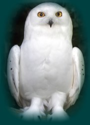 Owl In A Dream: PS Dream Interpretation
