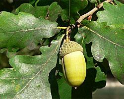 Acorn & Oak