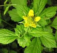 Bennet Herb