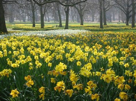 Wordsworths Daffodils