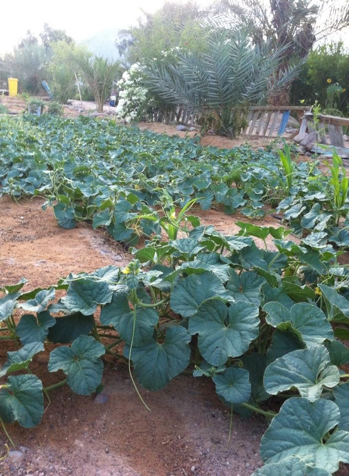 Habiba Organic Farm - Where Sinai Melons Come From