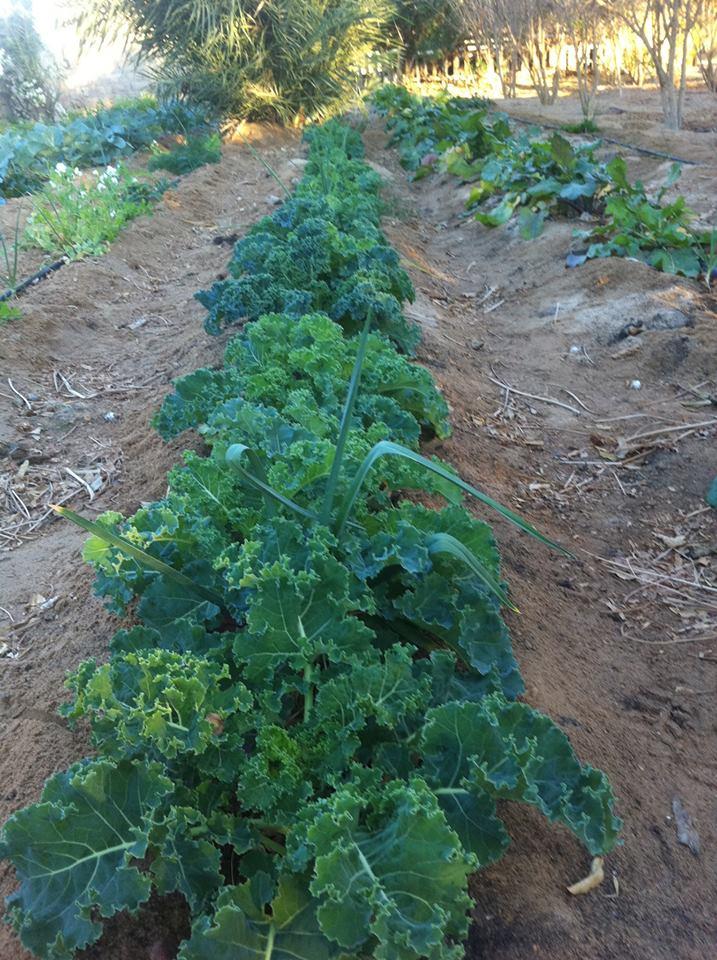 Habiba Organic Kale